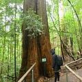 一路上都是好大~的樹