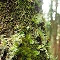 樹上的苔癬類好可愛