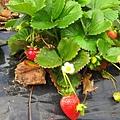 這大概是我人生中唯一的一次草莓田體驗