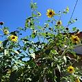 完全沒再向日太陽花們