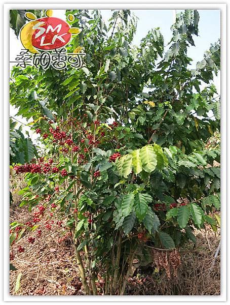 桑姆蕾可咖啡樹