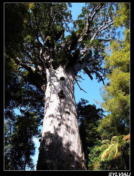 BIGGEST KAURI TREE.jpg