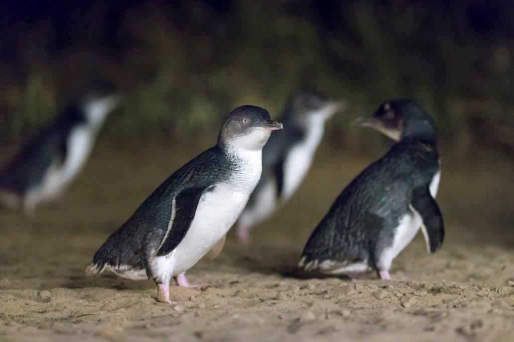 Penguin-Parade-12-small.jpg