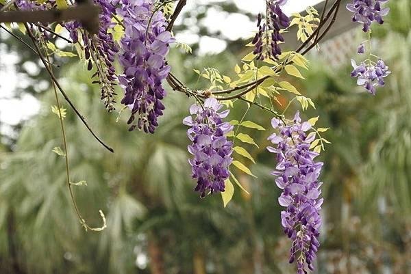 四月的紫藤 縮小.jpg
