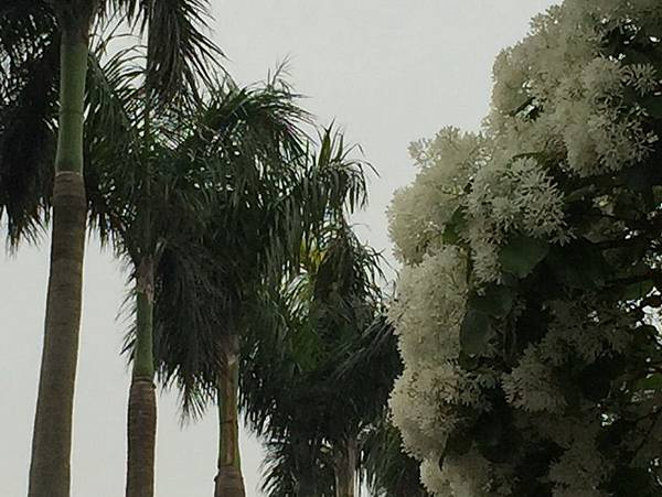 流蘇與椰子樹IMG_3059 縮小.jpg
