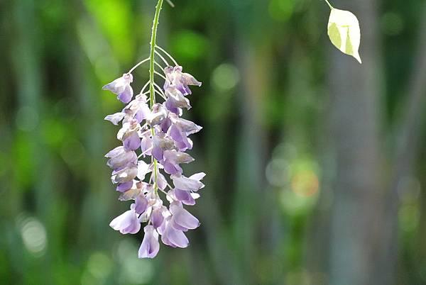 紫藤DSC_4551 縮小.jpg
