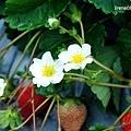 110123_14_大湖草莓.jpg