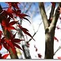 090708_14_福壽山楓葉.jpg