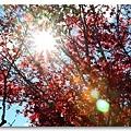 090708_12_福壽山楓葉.jpg