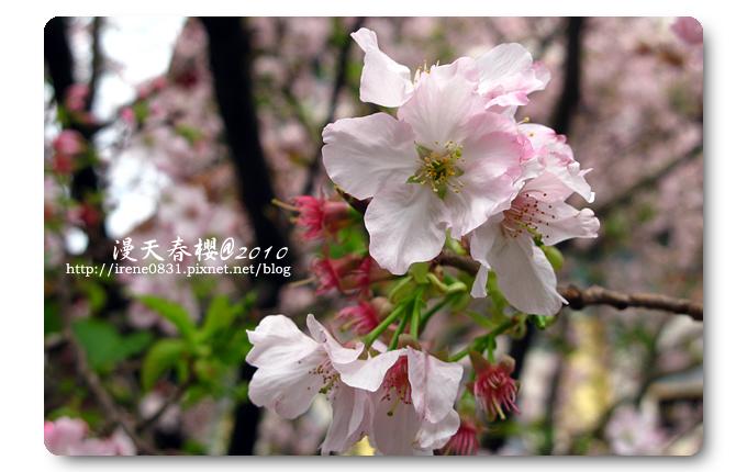 100314_11_天元宮春櫻.jpg