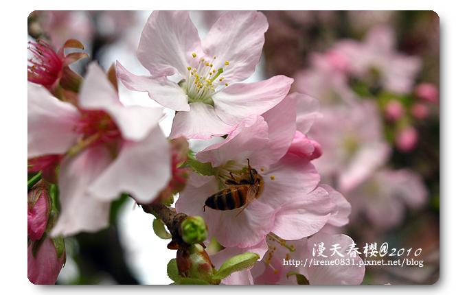 100314_13_天元宮春櫻.jpg