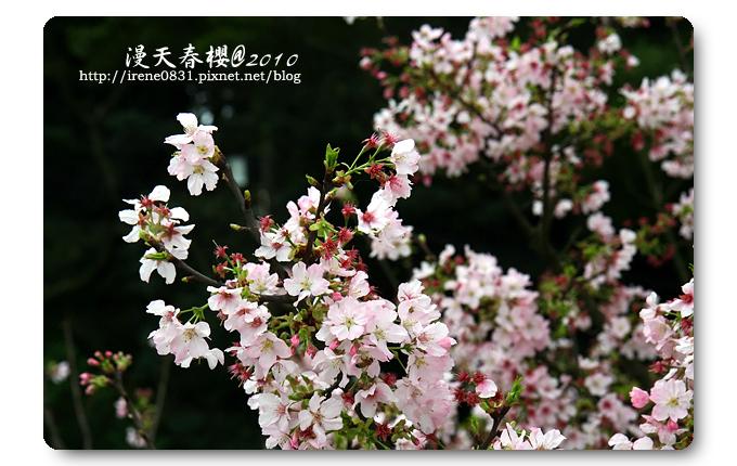 100314_26_天元宮春櫻.jpg