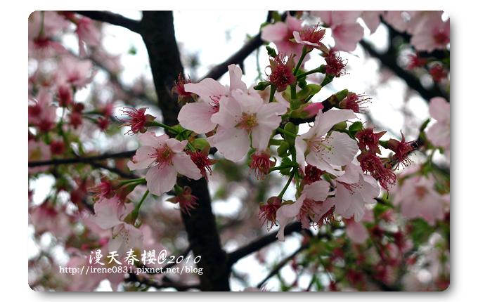 100314_08_天元宮春櫻.jpg