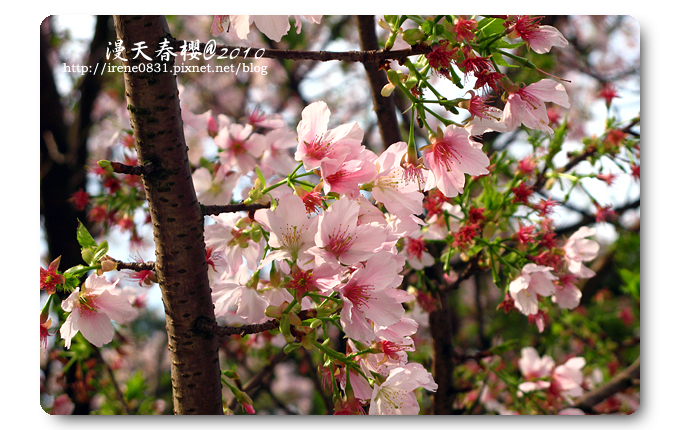 100314_07_天元宮春櫻.jpg