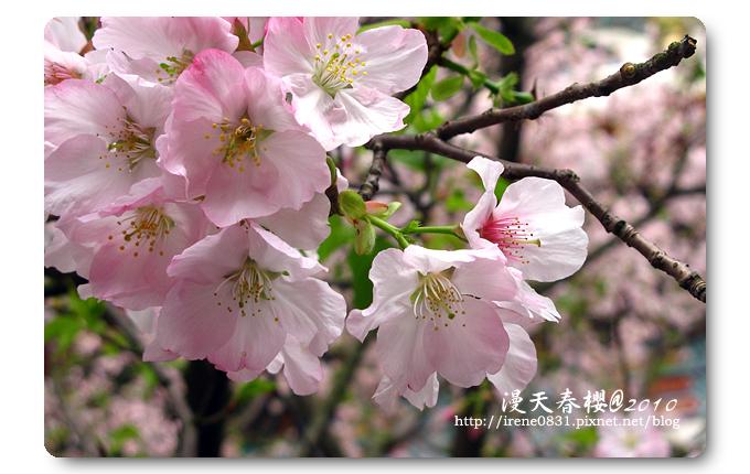 100314_12_天元宮春櫻.jpg