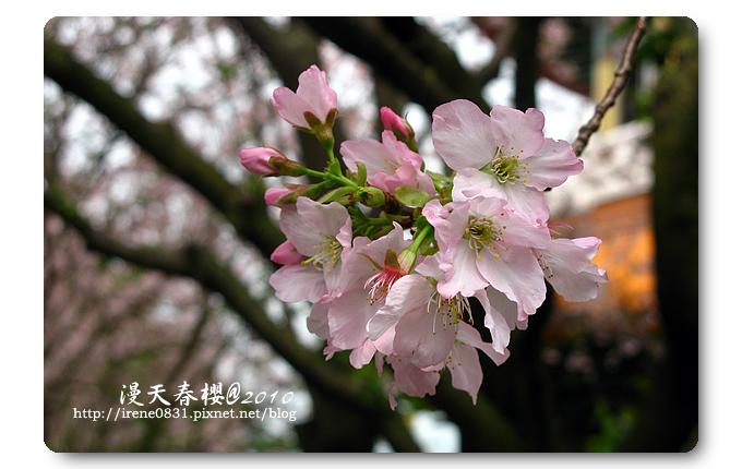100314_14_天元宮春櫻.jpg