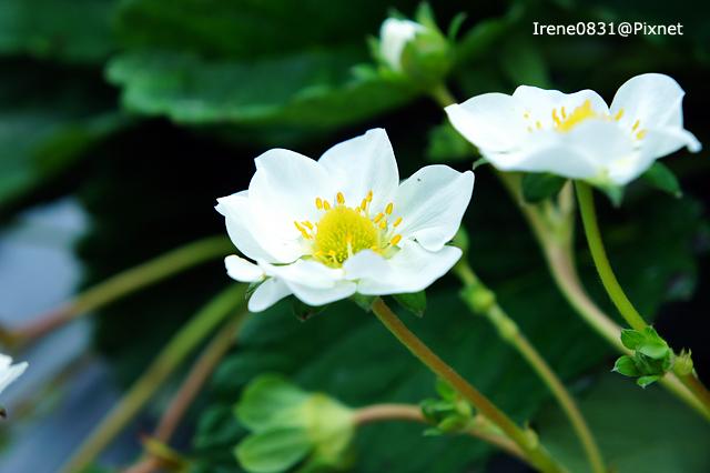 110123_15_大湖草莓.jpg