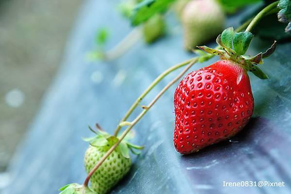 110123_17_大湖草莓.jpg