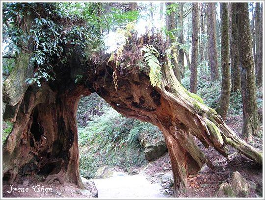 阿里山夜未眠-23阿里山森林步道風光2.jpg
