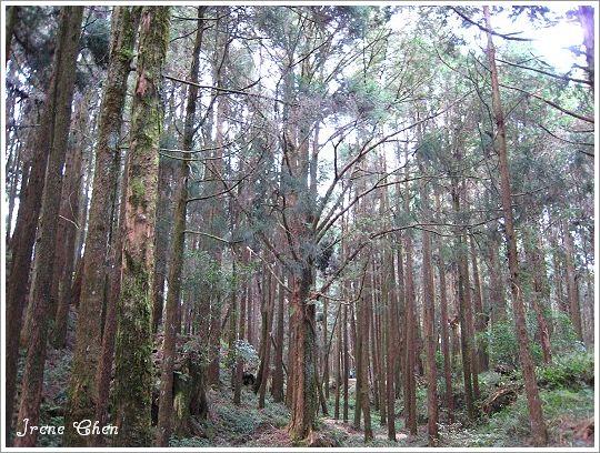 阿里山夜未眠-23阿里山森林步道風光3.jpg