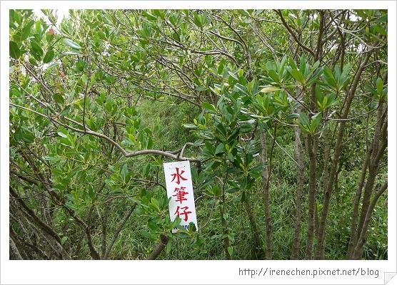 坐船遊台江05-水筆仔.jpg