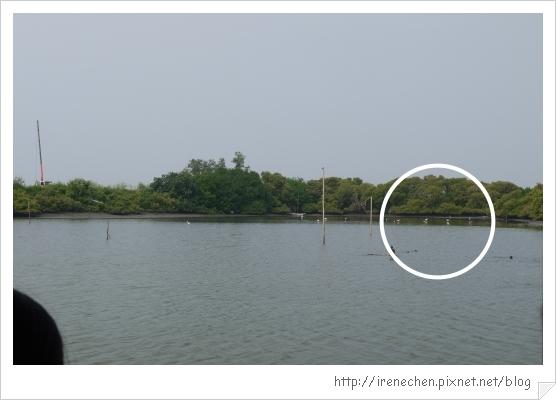 坐船遊台江15-白鷺鷥.jpg
