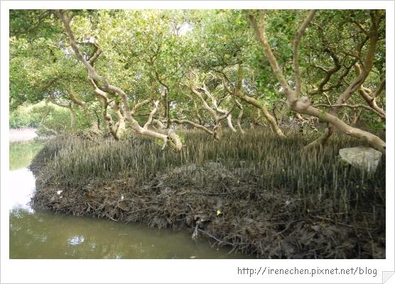 坐船遊台江18-紅樹林生態.jpg