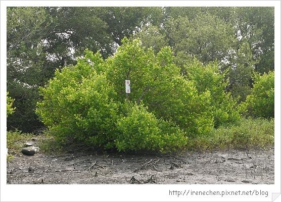 坐船遊台江20-紅樹林生態.jpg