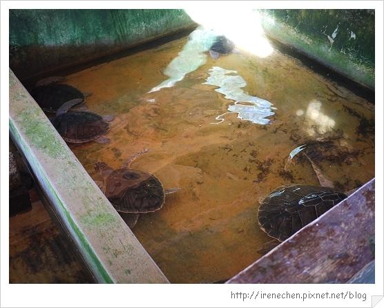 Bali233-海龜和牠的同伴.jpg