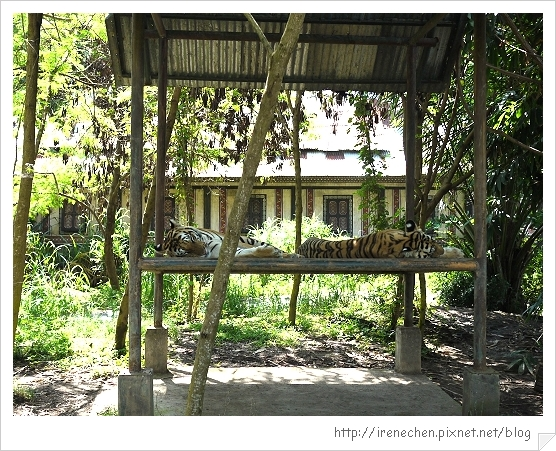 Bali323-野生動物園(老虎).jpg