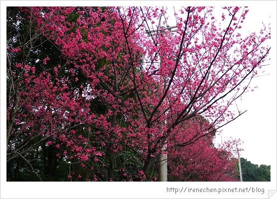 三空泉22-櫻花樹.jpg