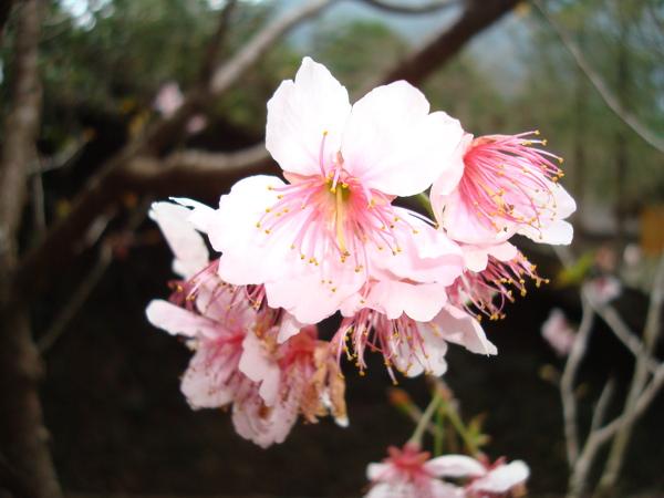 櫻花 10_粉紅色的.JPG