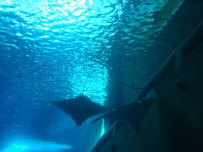 海生館16_魟魚.JPG