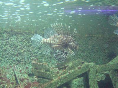 海生館30_獅子魚.JPG