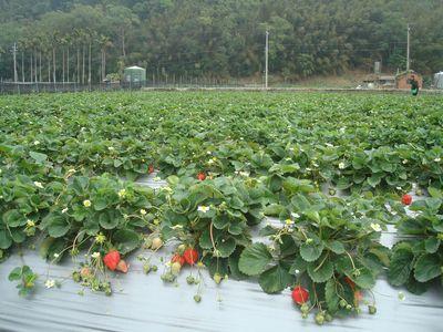 大湖草莓園1.JPG