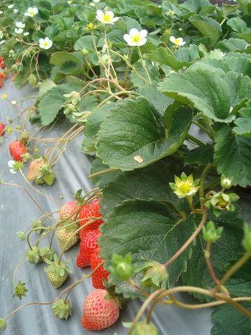 大湖草莓園2.JPG