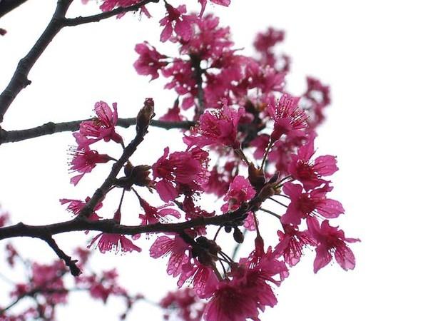 烏來櫻花祭.jpg