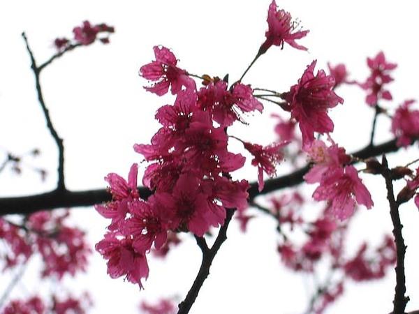 烏來櫻花祭 017.jpg