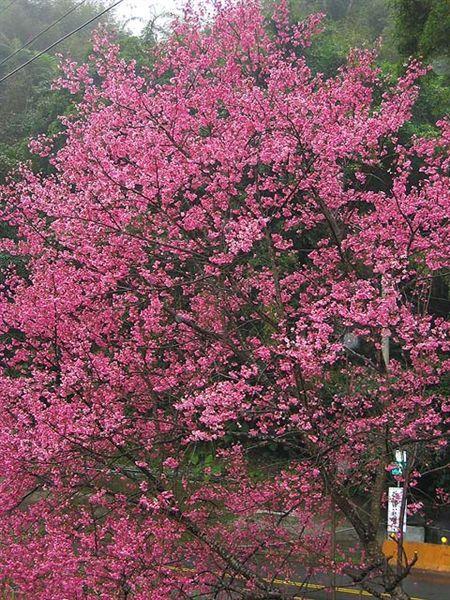 烏來櫻花祭 023.jpg