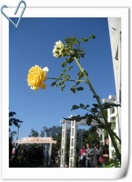 rose-6.jpg