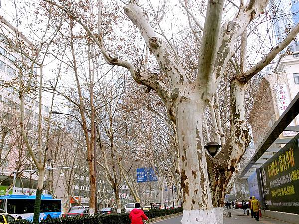 圖3 1月16日南京漢中路上的法國梧桐樹,冬寒葉片褪盡。