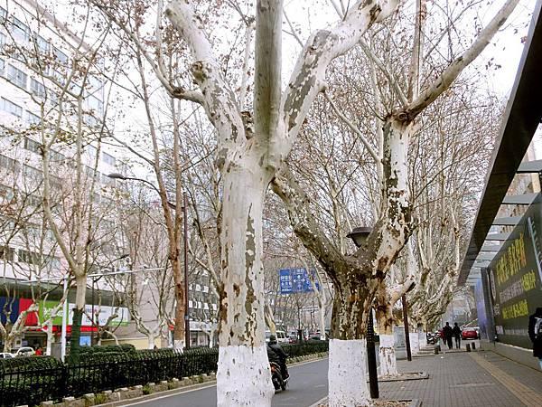 圖2 南京漢中路上的法國梧桐樹