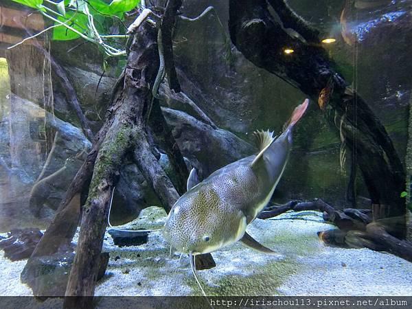 P28)長了鬍子的可愛大魚.jpg