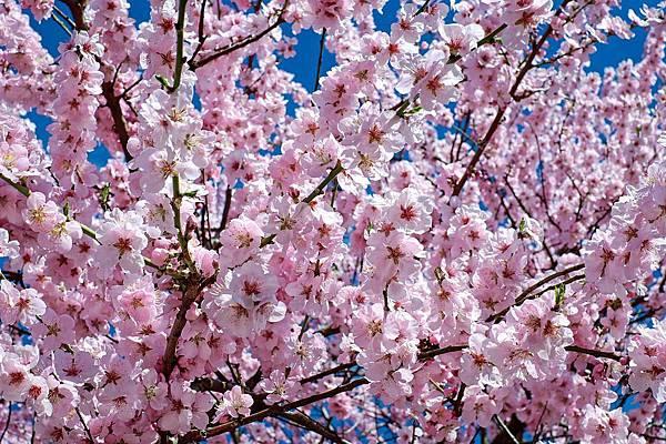 japanese-cherry-trees-2168858_960_720.jpg