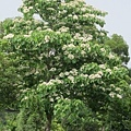 一旁的油桐樹.jpg