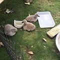 崑山湖的黑天鵝寶寶