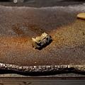 高雄-初鮨-阿慶-全握-黑鮑-鮭魚-天上鰤-生筋子-和歌山鮪魚-真牡丹 (34).jpg
