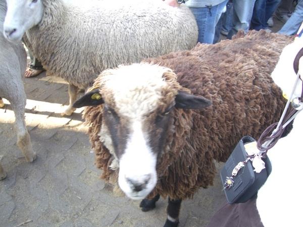 31黑毛羊