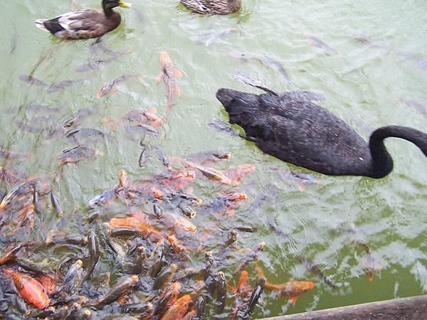 魚與天鵝相忘於江湖.JPG