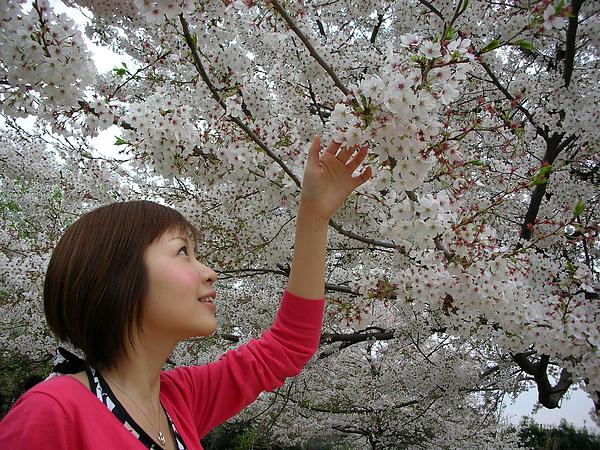 2007櫻花花~